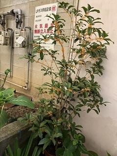 キンモクセイ (1).jpg