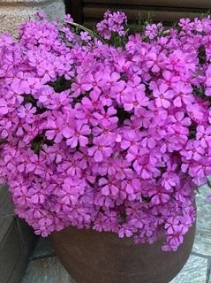 芝桜 (3).jpg